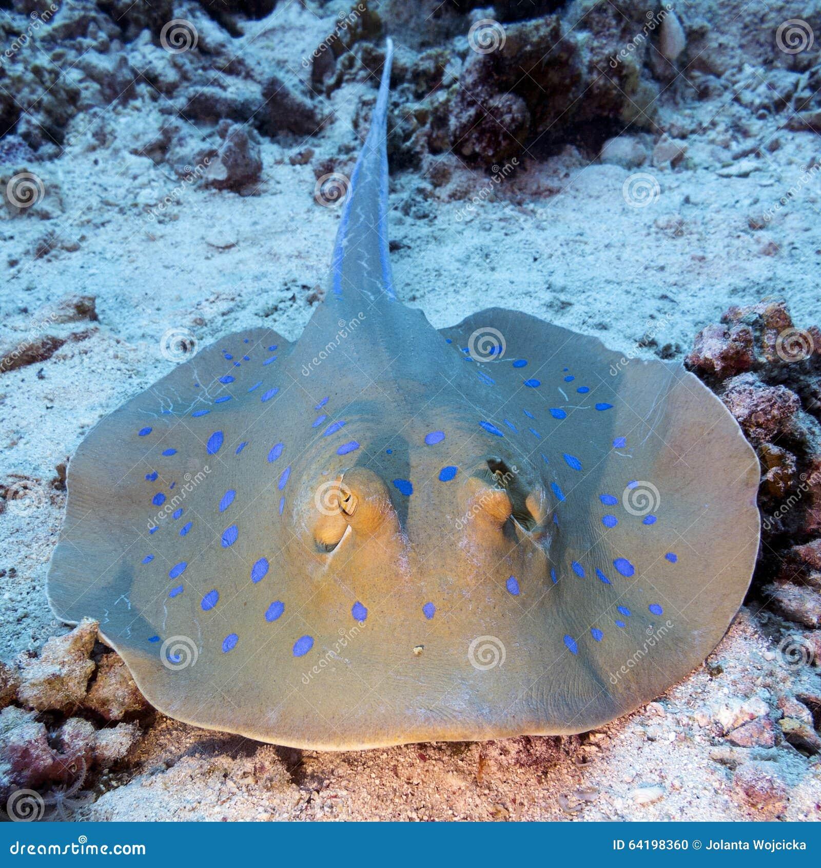 Bluespotted光芒(Taeniura lymma)在热带海,水下