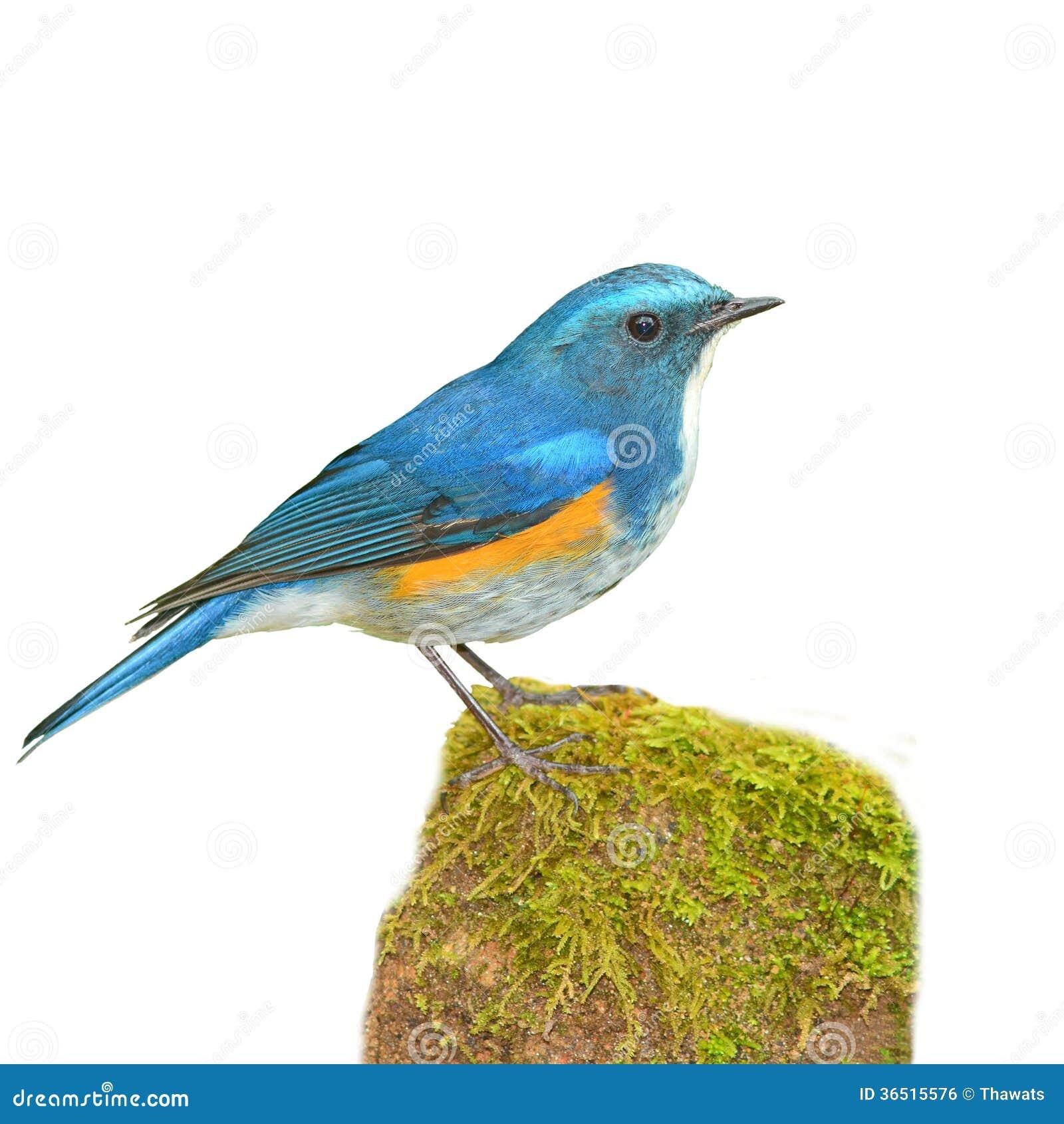 Bluetail de l Himalaya