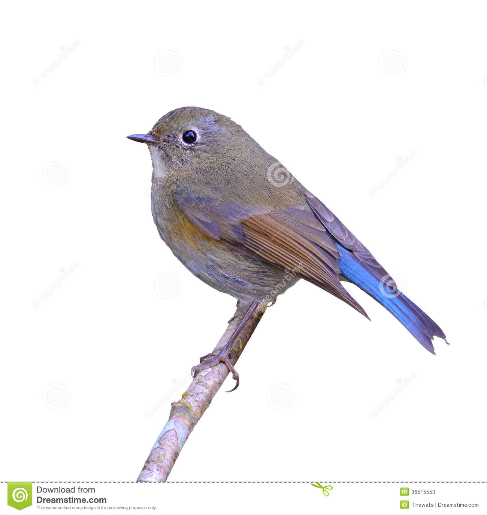 Bluetail himalayano