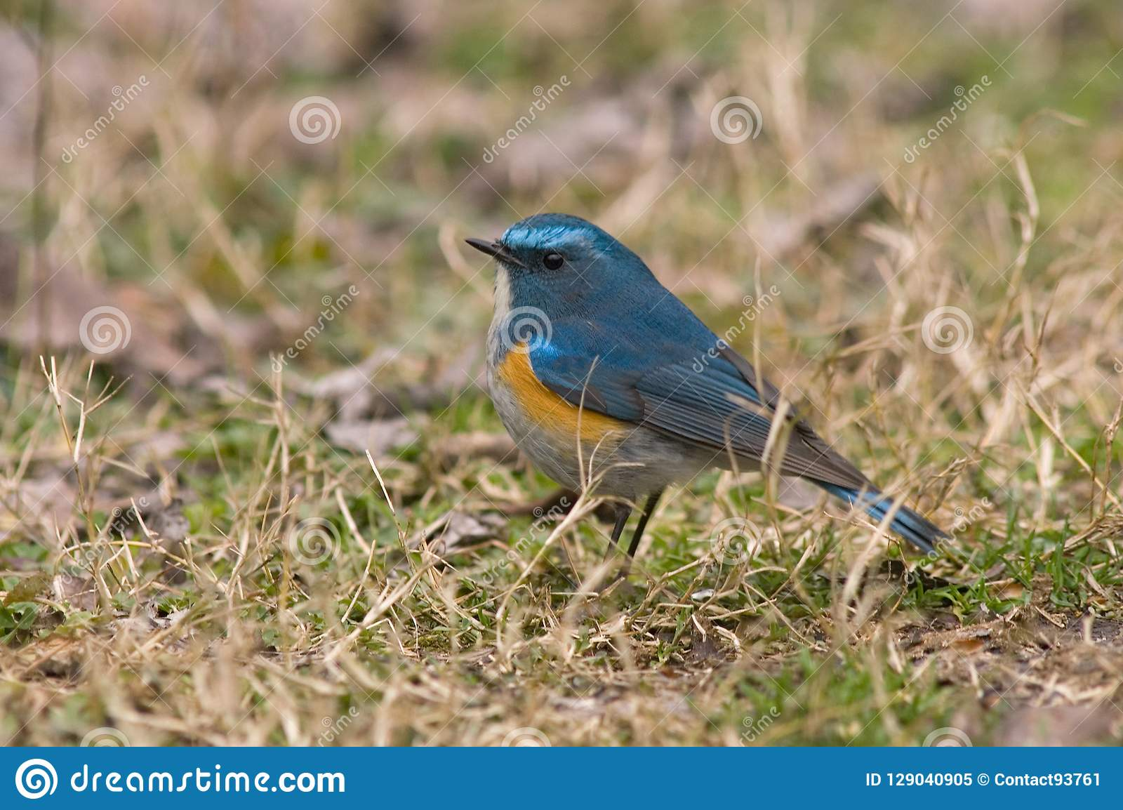 Bluetail Rosso-fiancheggiato himalayano, Himalaya Blauwstaart, Tarsiger r