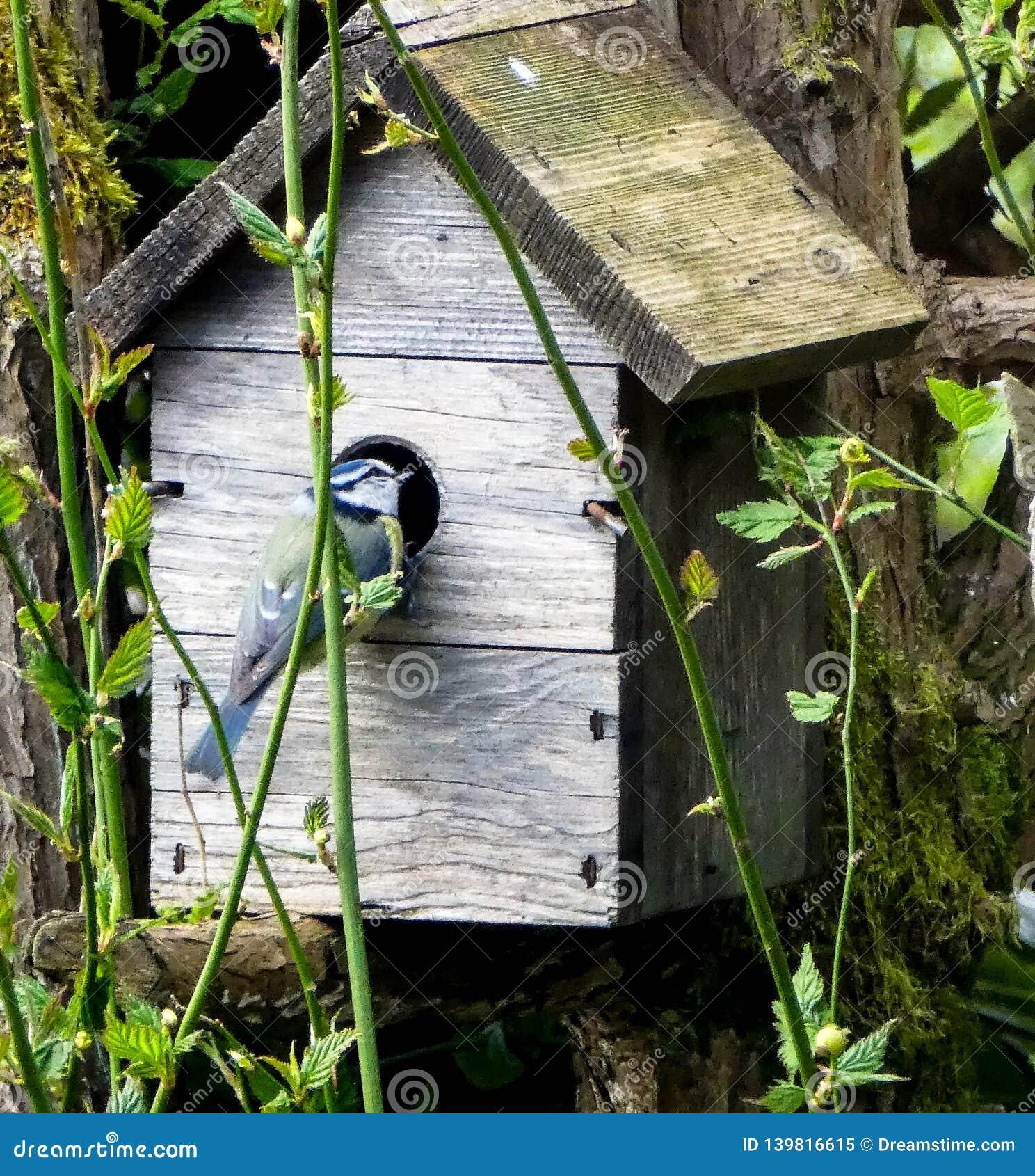 Bluetit die de huisvestingssituatie controleren