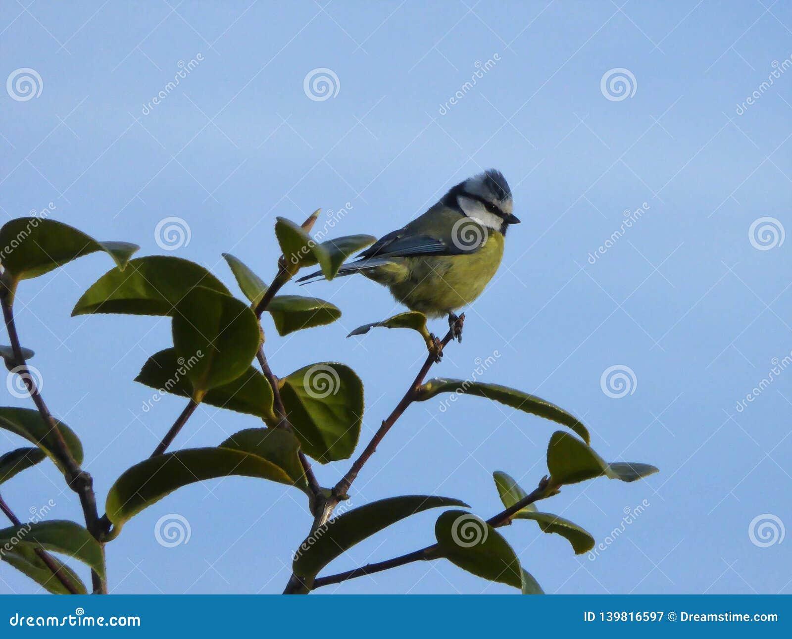 Bluetit on a leaf