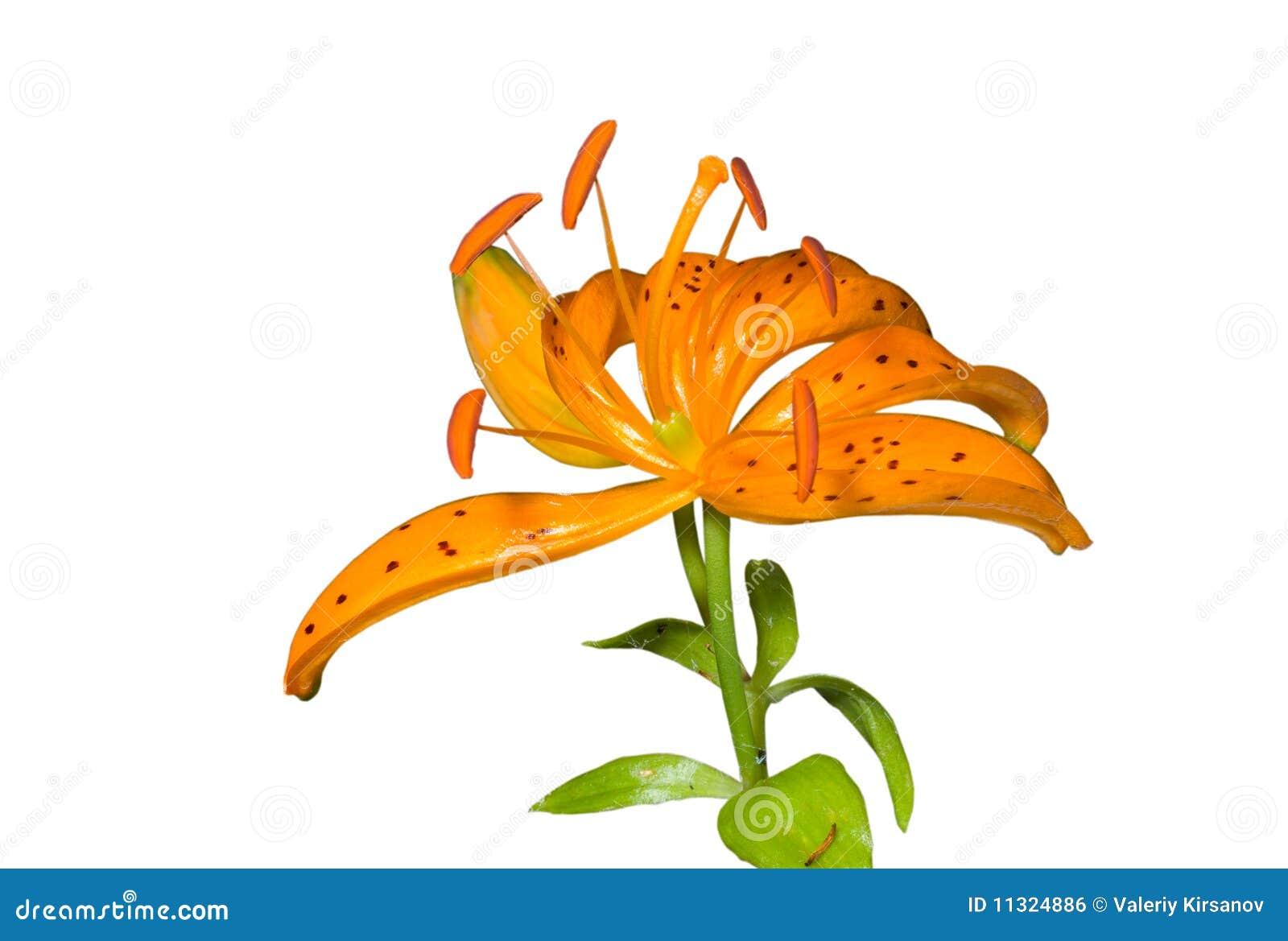 Blume der Lilie (Lilium distichum) 1