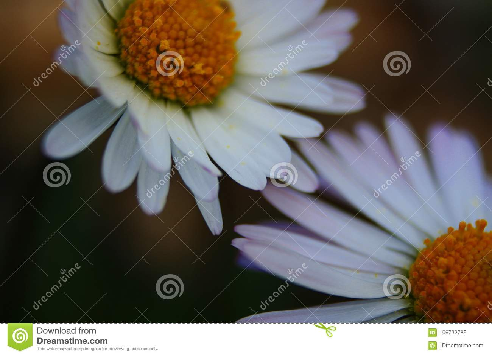 Blume des ersten Stockwerkes des Mittelmeerflecks im Halbinsel salentina mit langen Belastungen durch die direkte Sonne