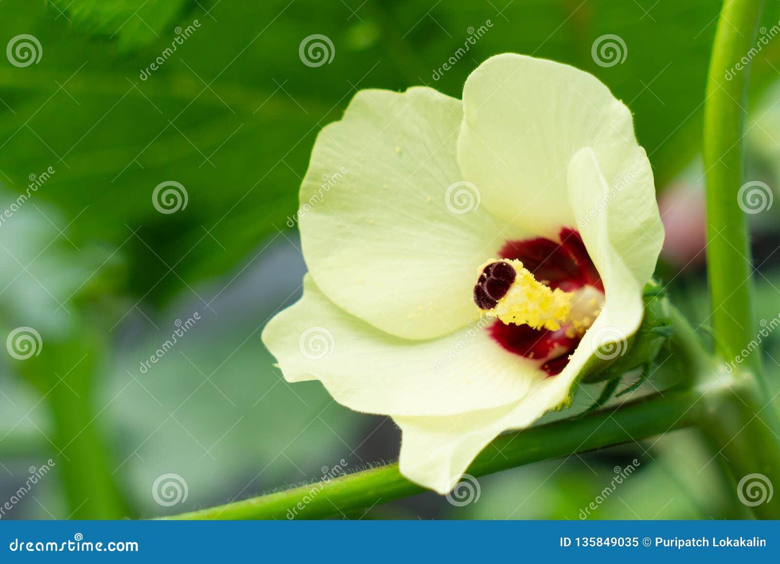 Blume des essbaren Eibisches oder Abelmoschus esculentus