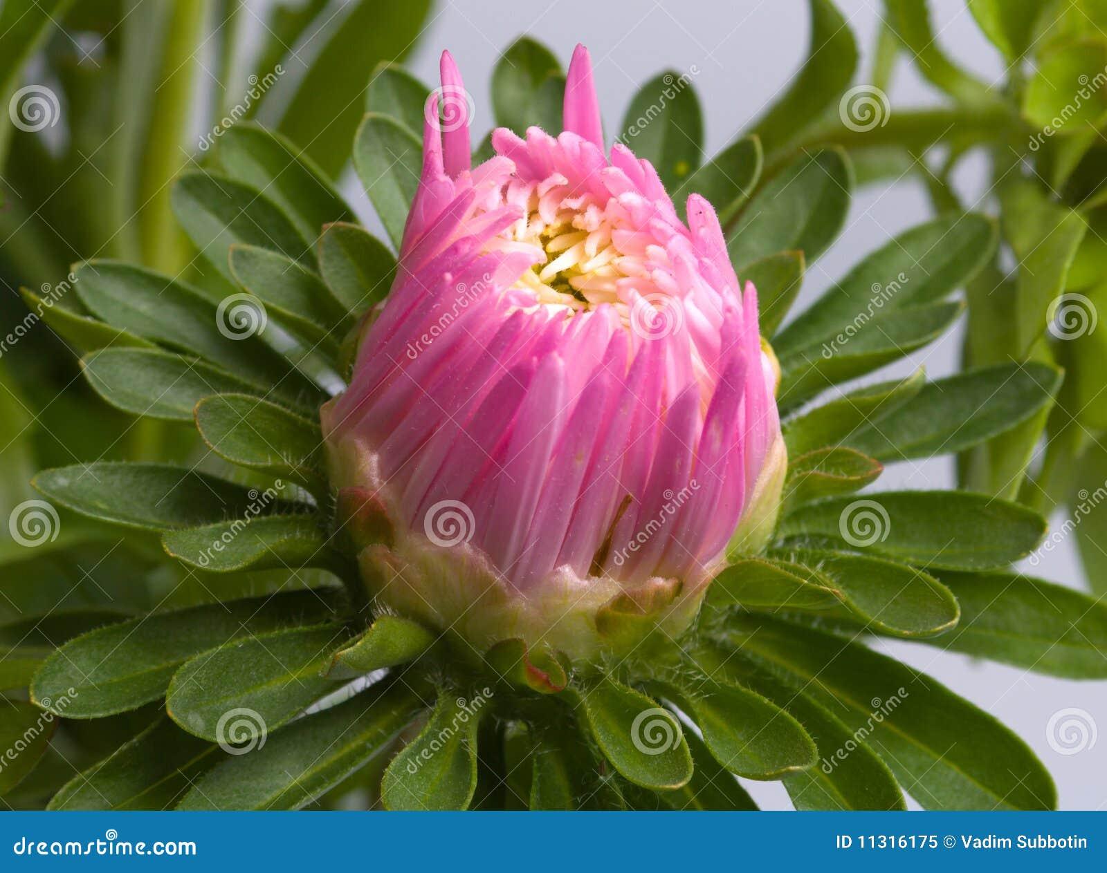 Blume einer Aster