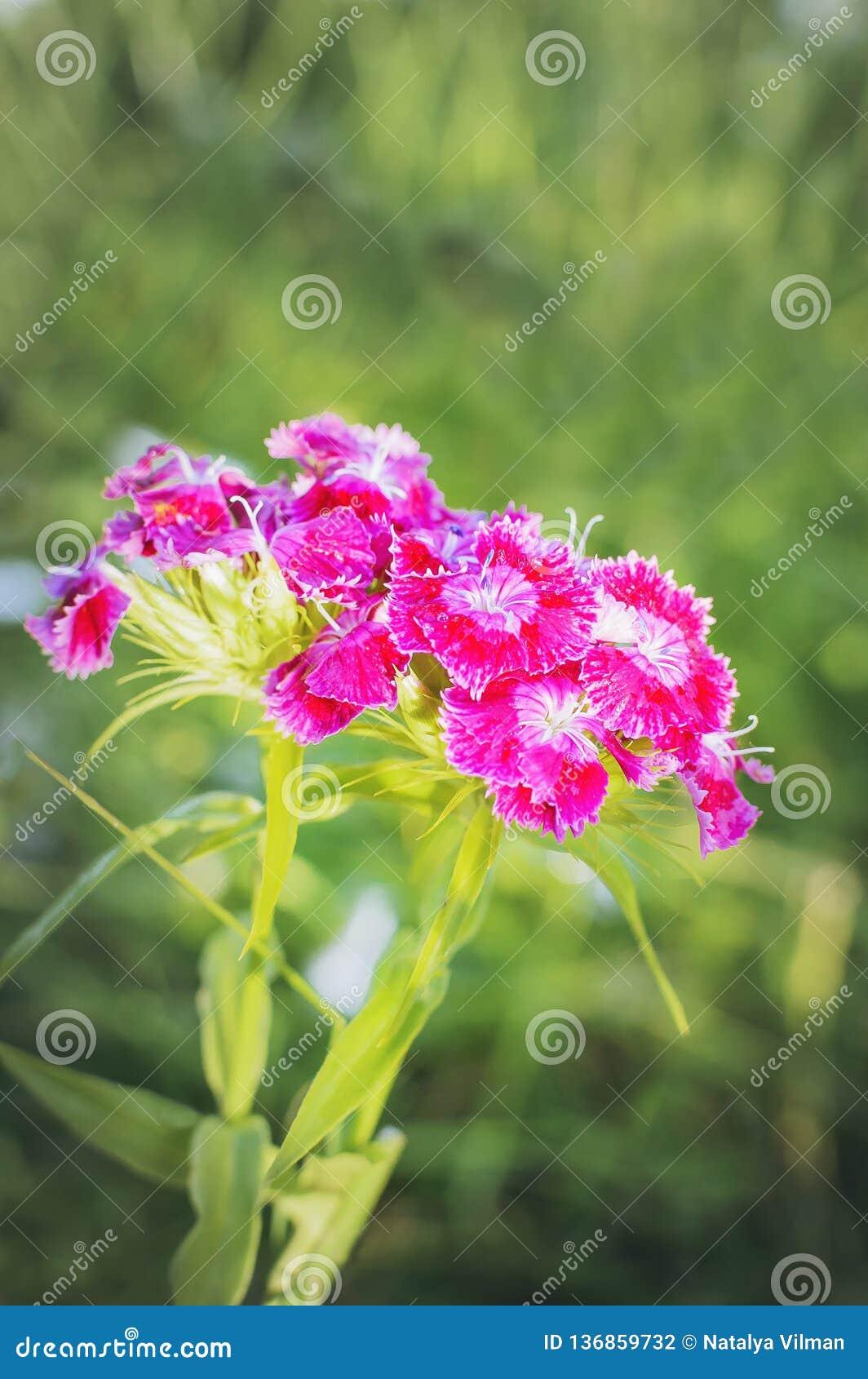 Blume mit blühenden Gartennelkenblumen Vertikale Fotographie