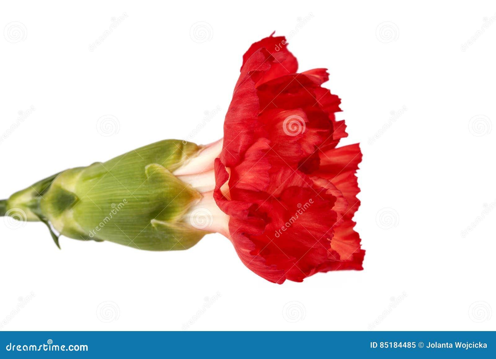 Blume roten Gartennelke Dianthus caryophyllus lokalisiert auf weißem Hintergrund