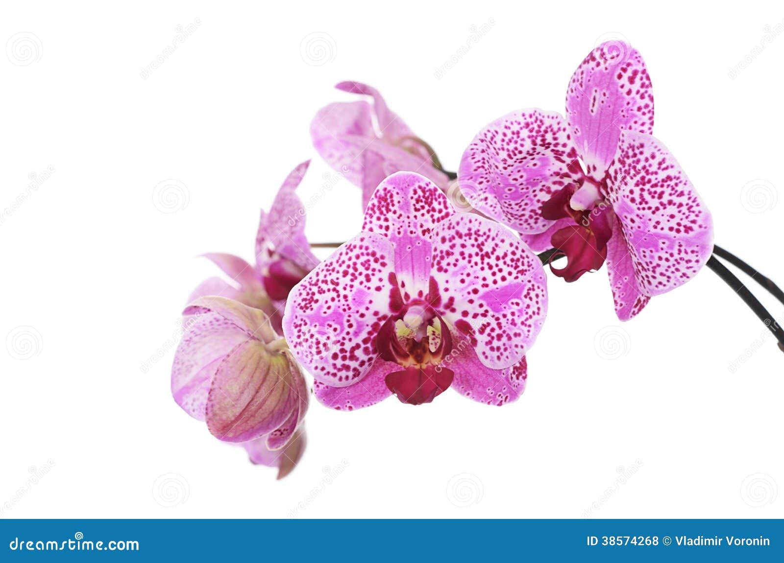 blumen der lila orchidee lokalisiert auf wei lizenzfreie stockfotos bild 38574268. Black Bedroom Furniture Sets. Home Design Ideas
