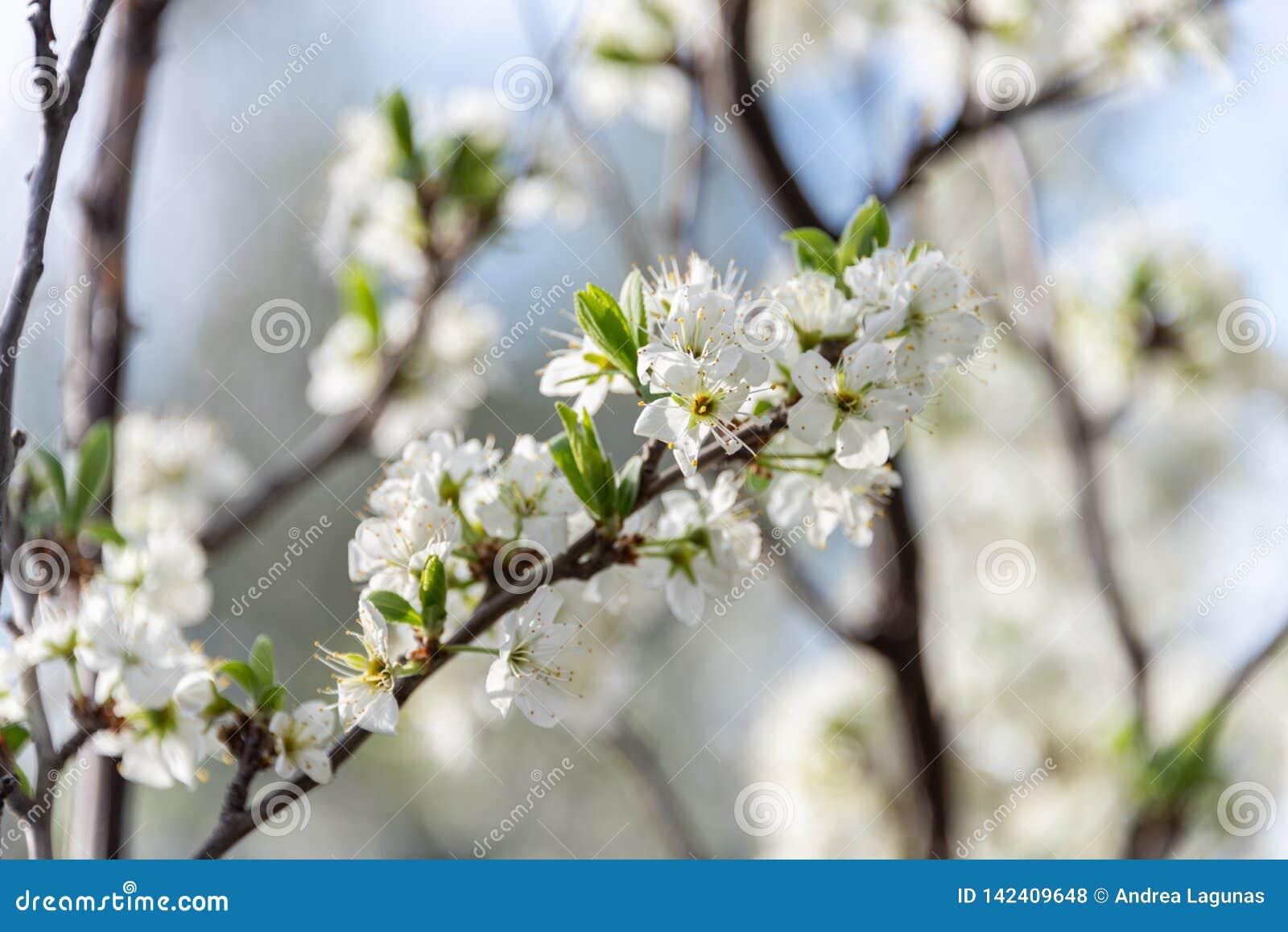 Blumen des BlütenMandelbaums auf dem Gebiet