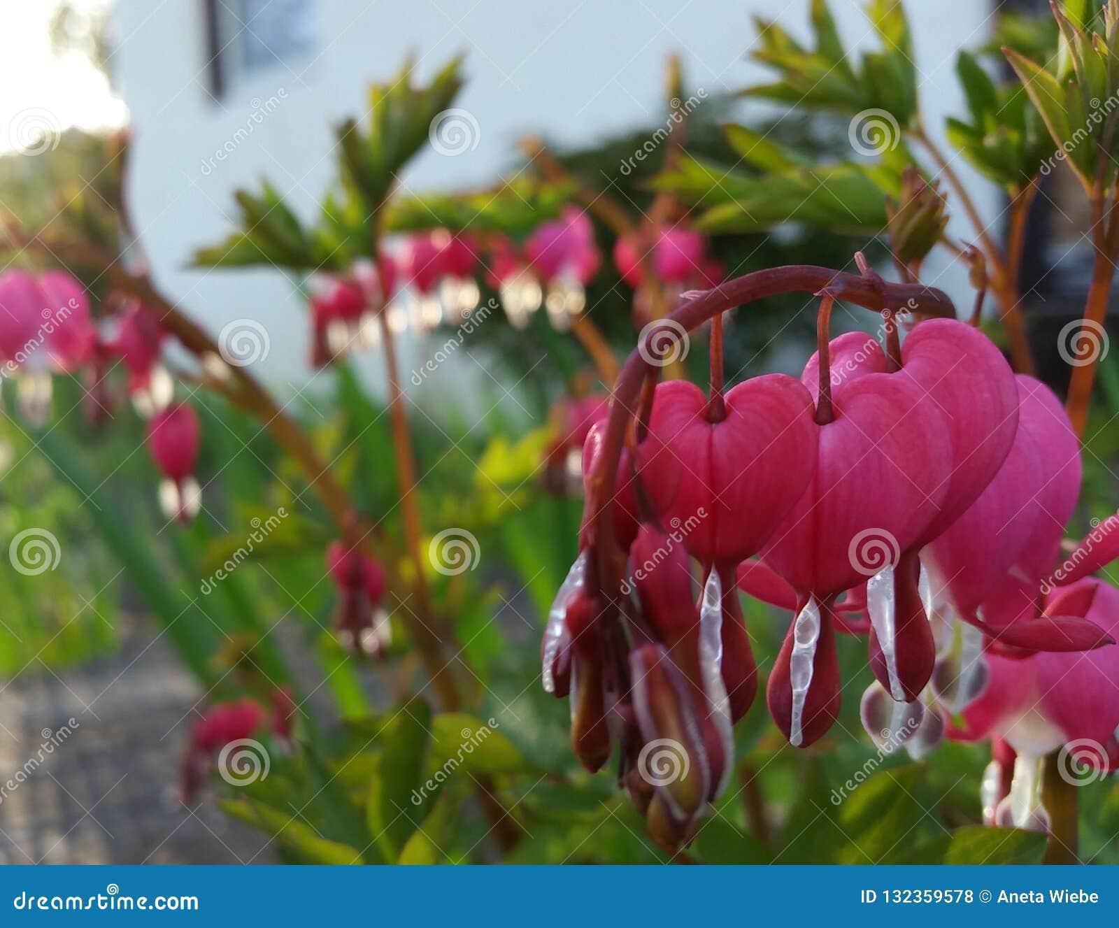 Blumen des blutenden Herzens
