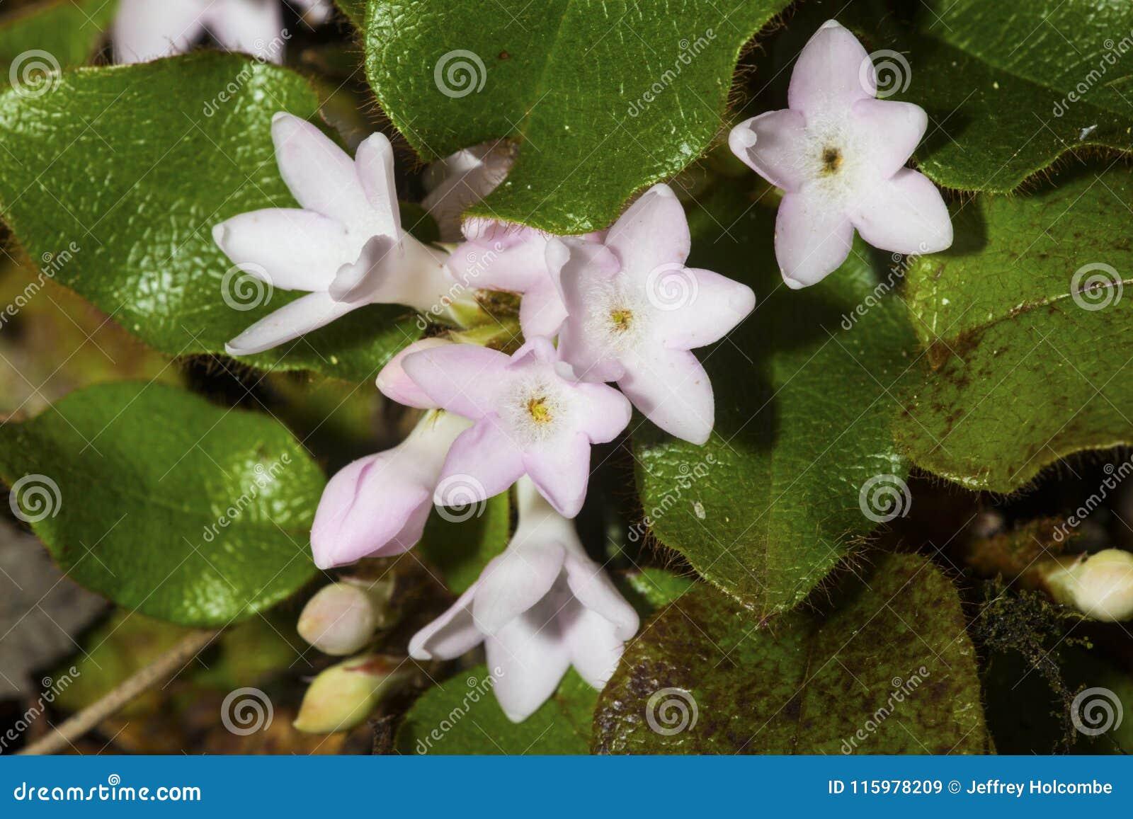 Blumen des schleppenden Arbutus am Tal fällt Park in Connecticut