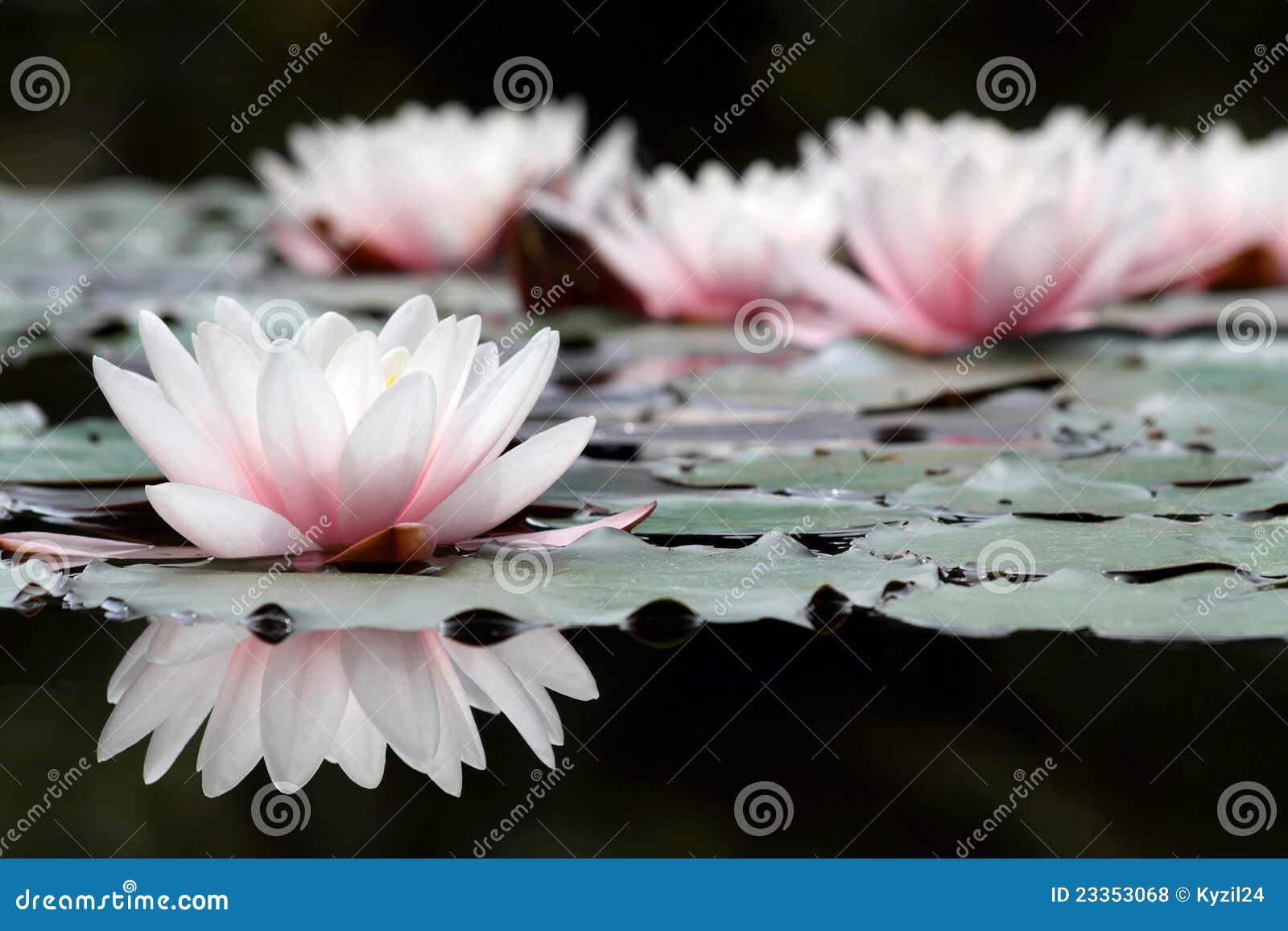 Blumen des weißen Lotos