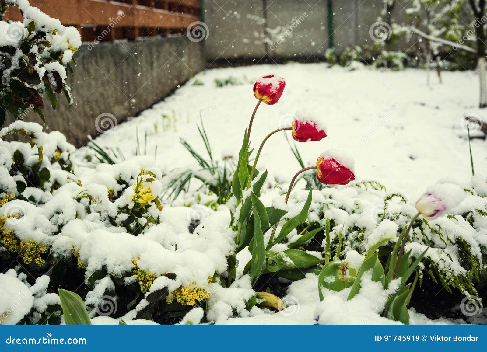 blumen im schnee rote tulpen beim schauen durch den. Black Bedroom Furniture Sets. Home Design Ideas