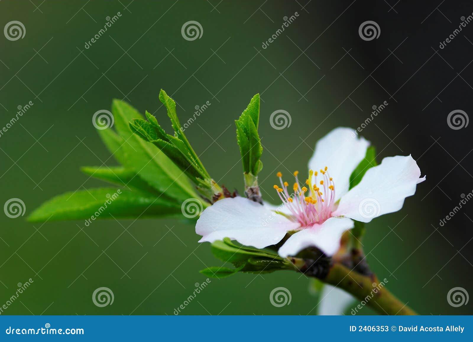 Blumen-Mandelbaum
