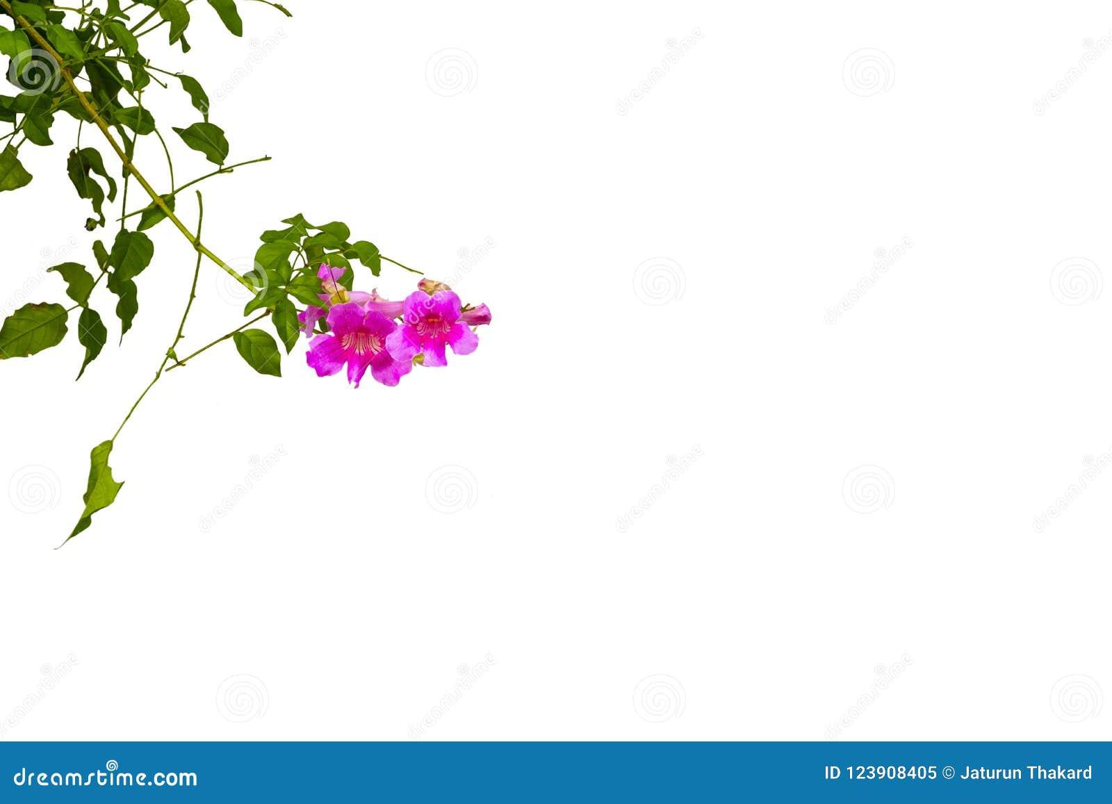 Blumen, rosa Trompeten-Rebe lokalisiert