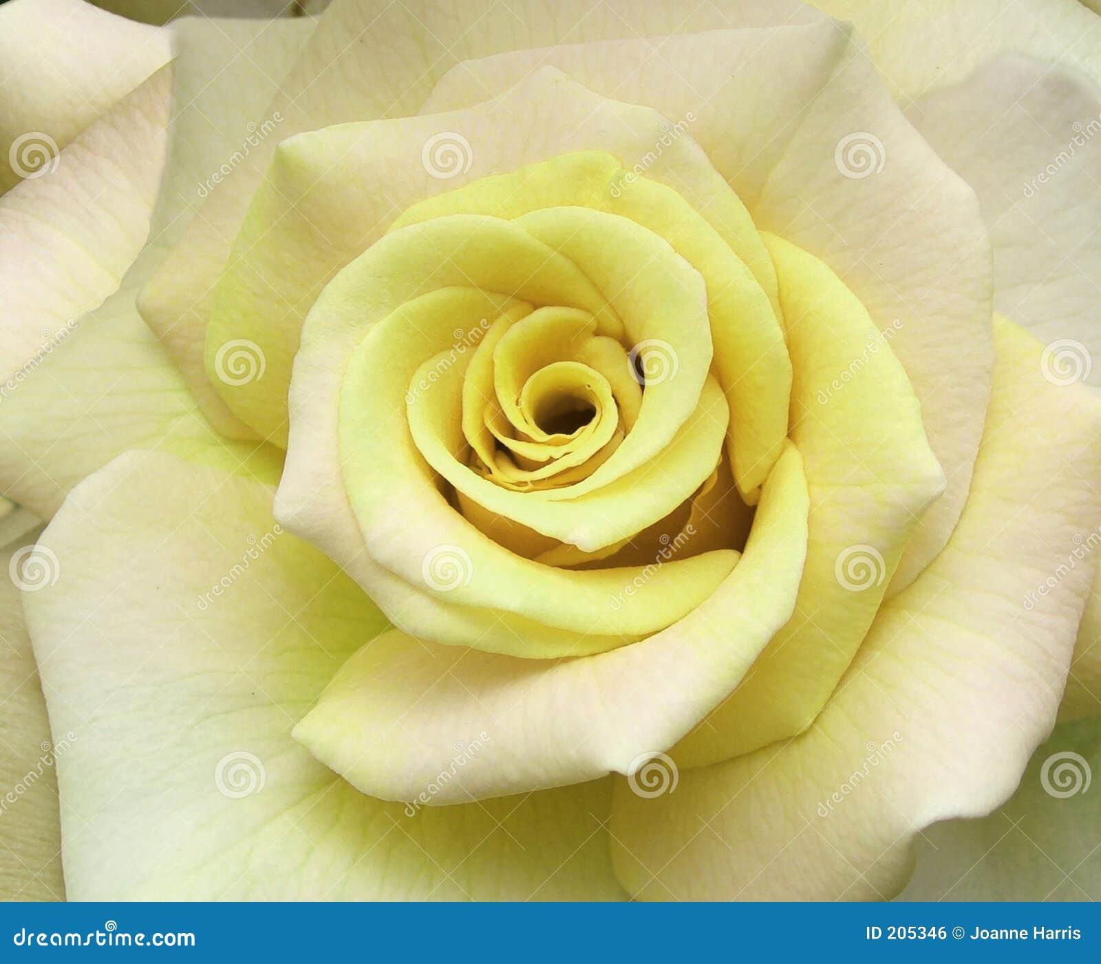 Blumen - Rose