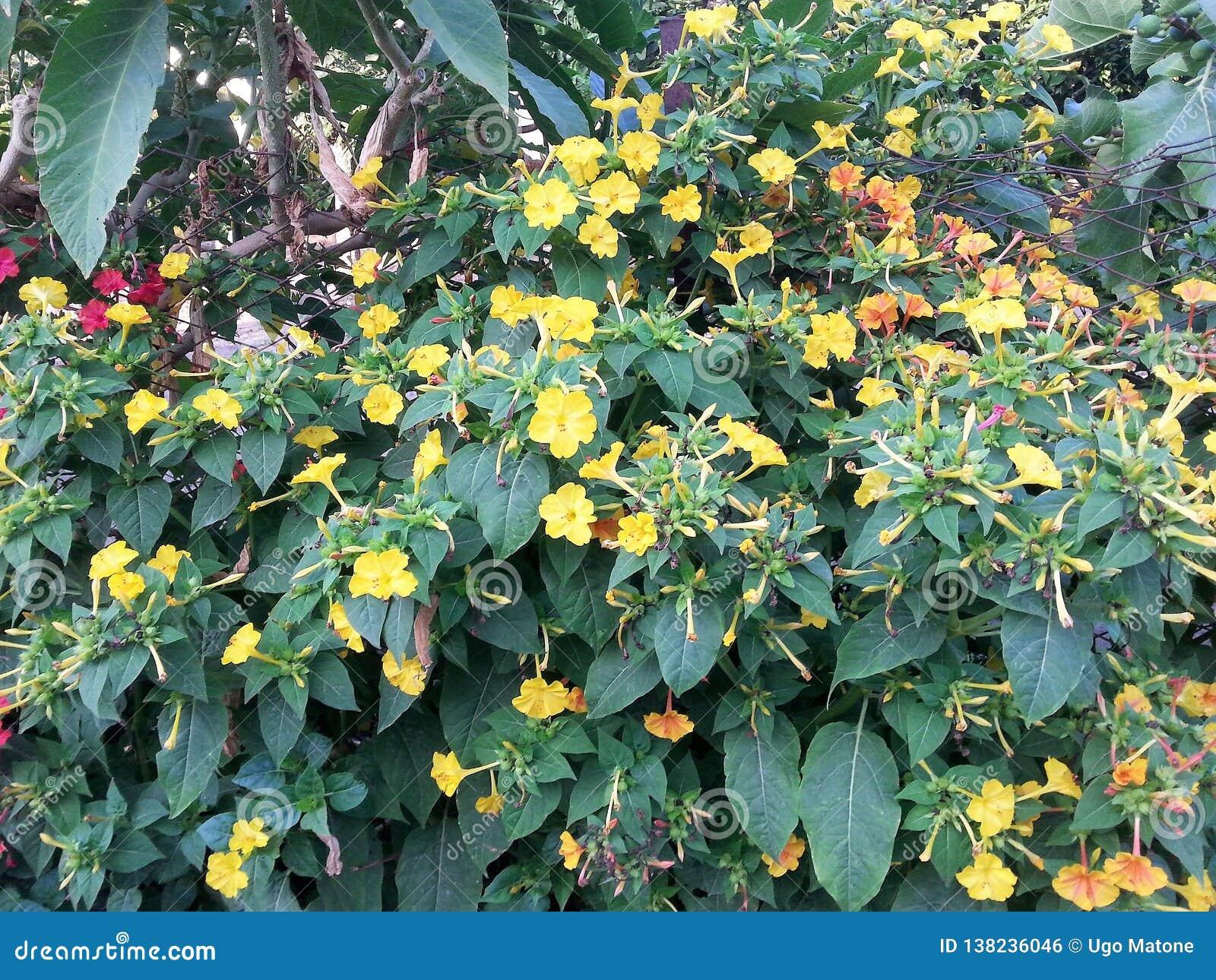 Blumen von Mirabilis jalapa