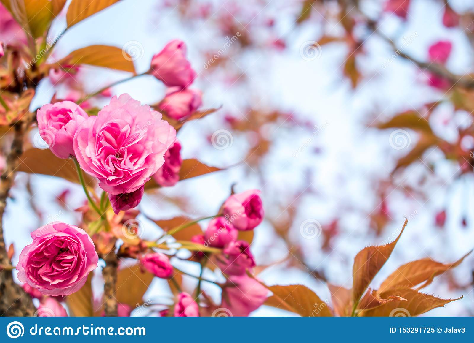 Blumen von rosa Kirschblüte mit gelben Blättern bei Sonnenuntergang