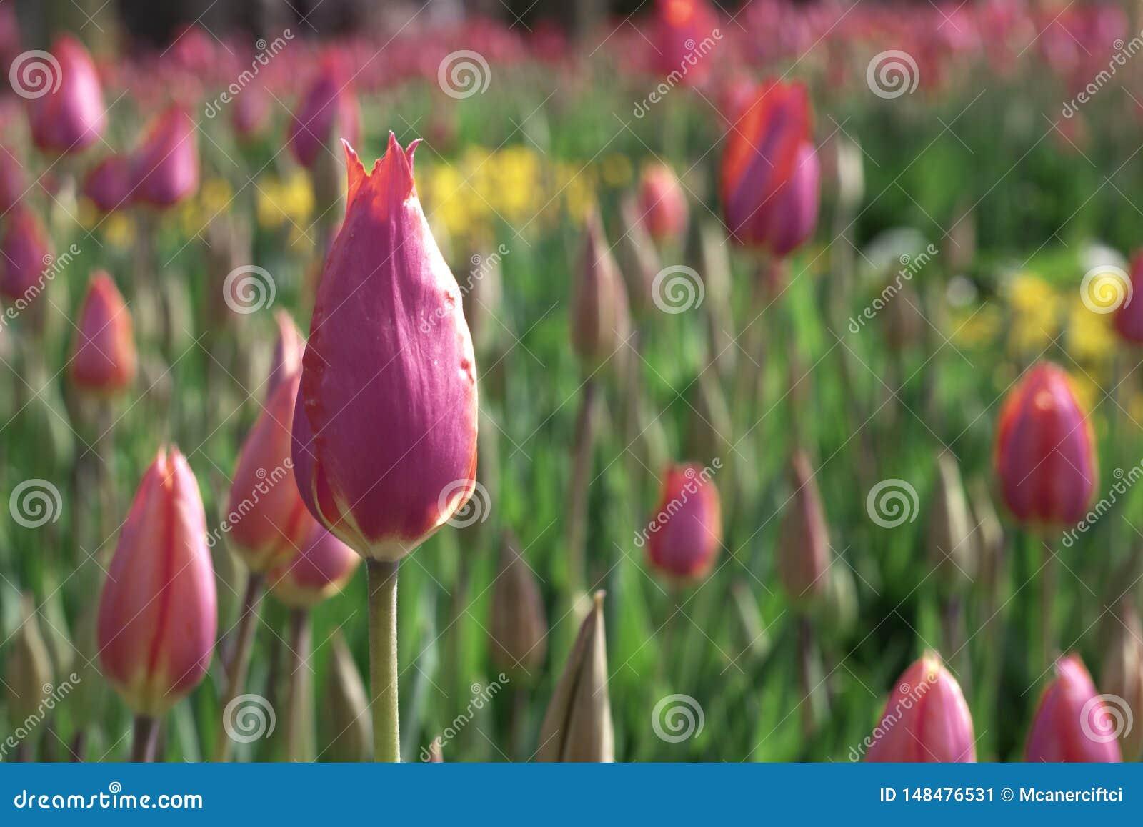 Blumen von Tulpen in den verschiedenen Farben im Garten