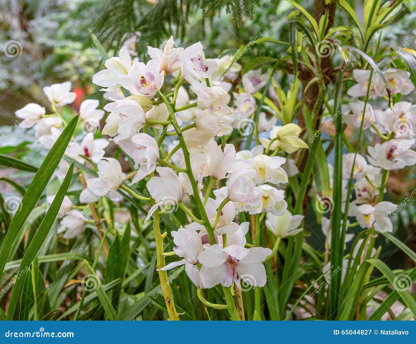 blumenbeet wei en orchideen dendrobium nobile im gew chshaus stockbild bild von bunt floret. Black Bedroom Furniture Sets. Home Design Ideas