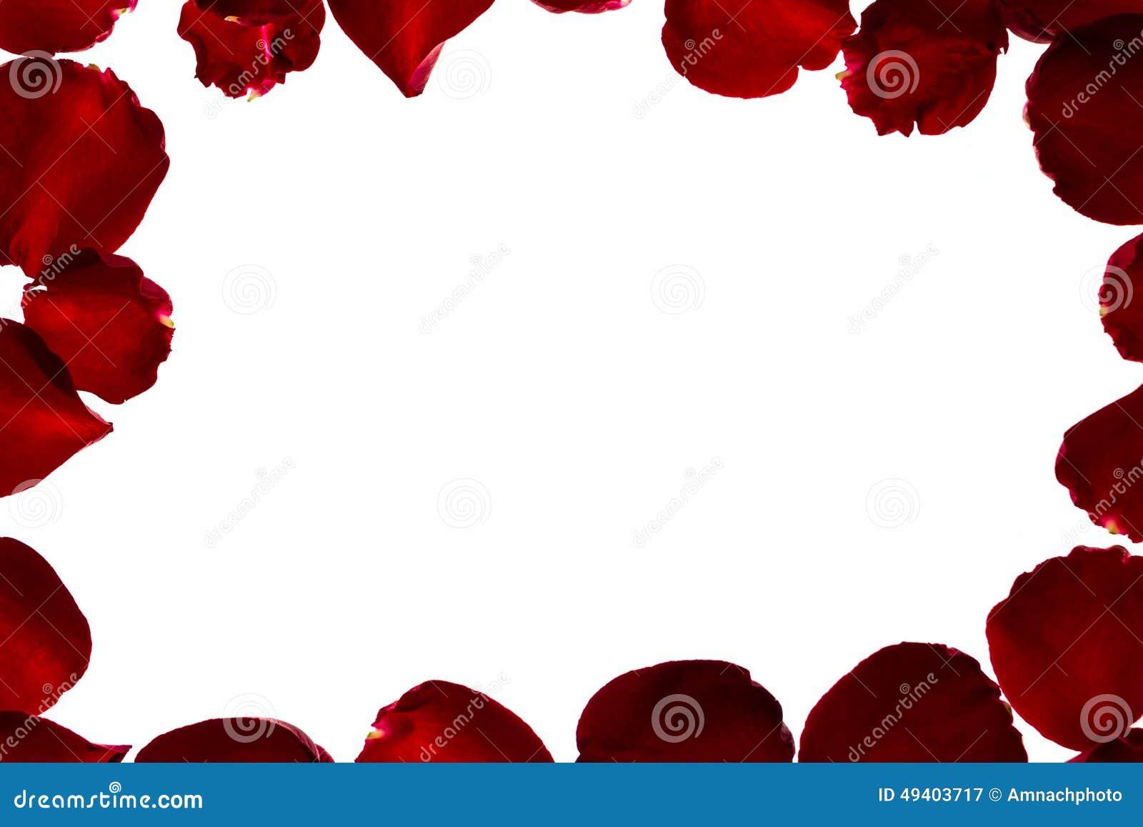 Download Blumenblatt der Rotrose stockbild. Bild von botanisch - 49403717