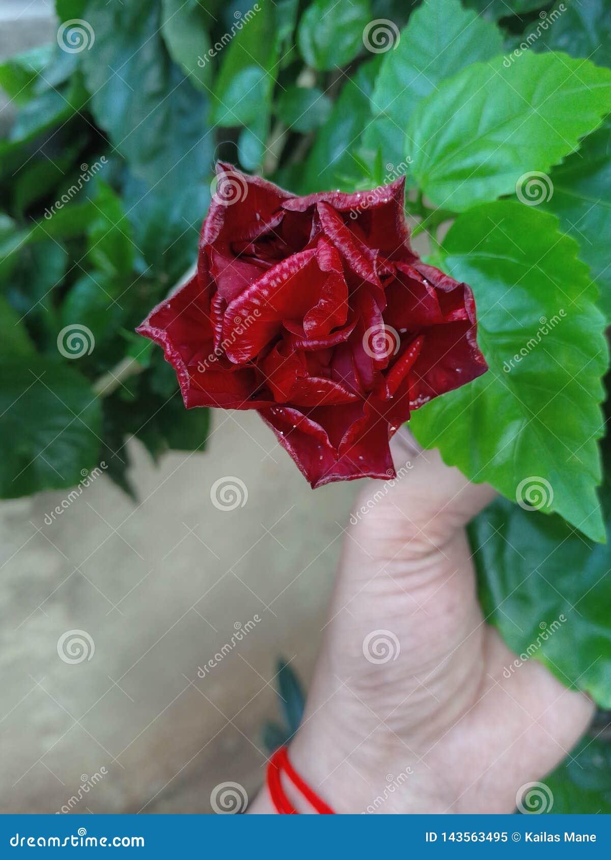 Blumenhibiscusgrün