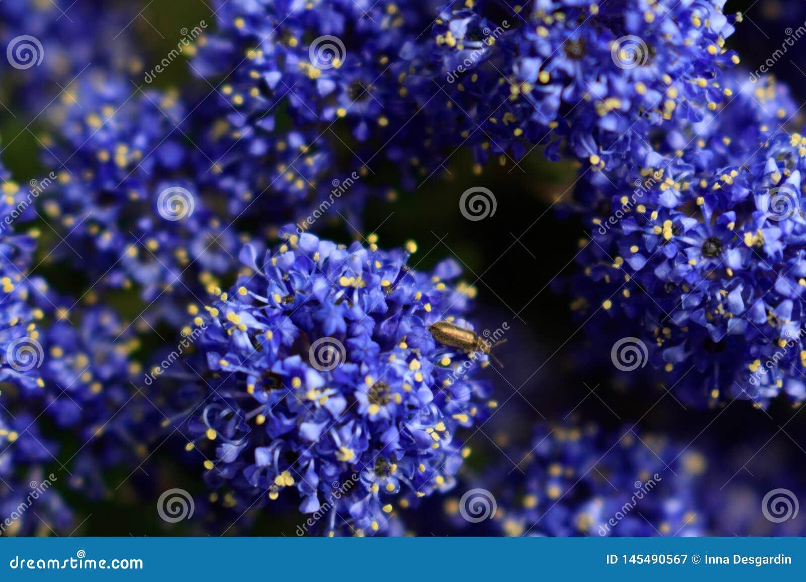 Blumenhintergrund des blauen Indigos Makrotrieb von Kalifornien-Flieder besuchte durch Insekt