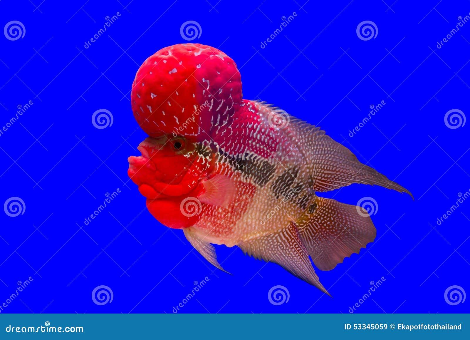 Blumenhornfische