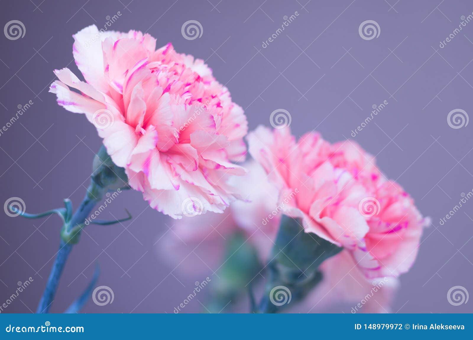Blumenstrau? der Gartennelkennahaufnahme Rosa Blumen auf einem grauen Hintergrund Weicher Fokus Sch?ne Gru?karte f?r Ihre Gl?ckw?