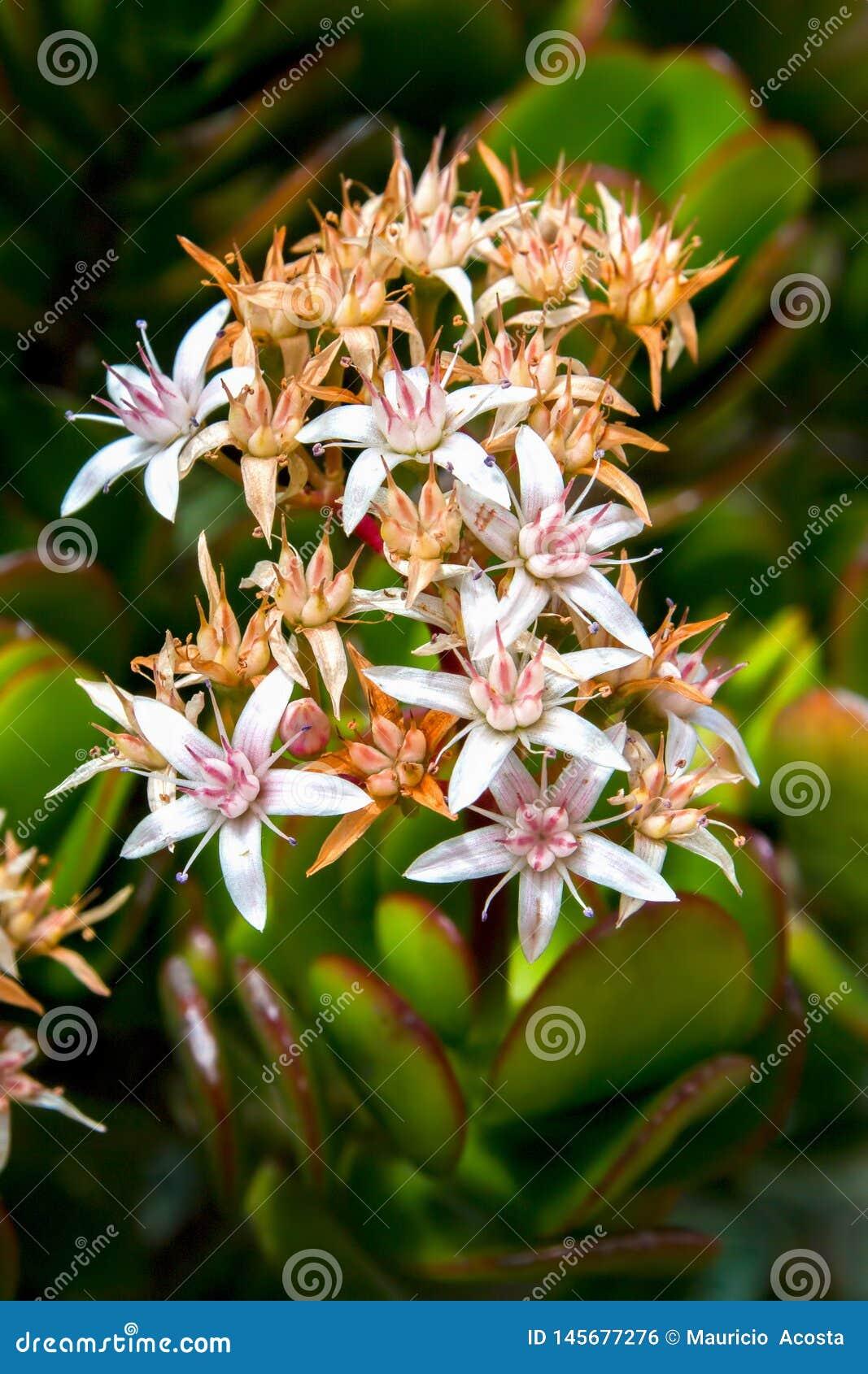 Blumenstrauß von kleinen Jadebetriebsblumen
