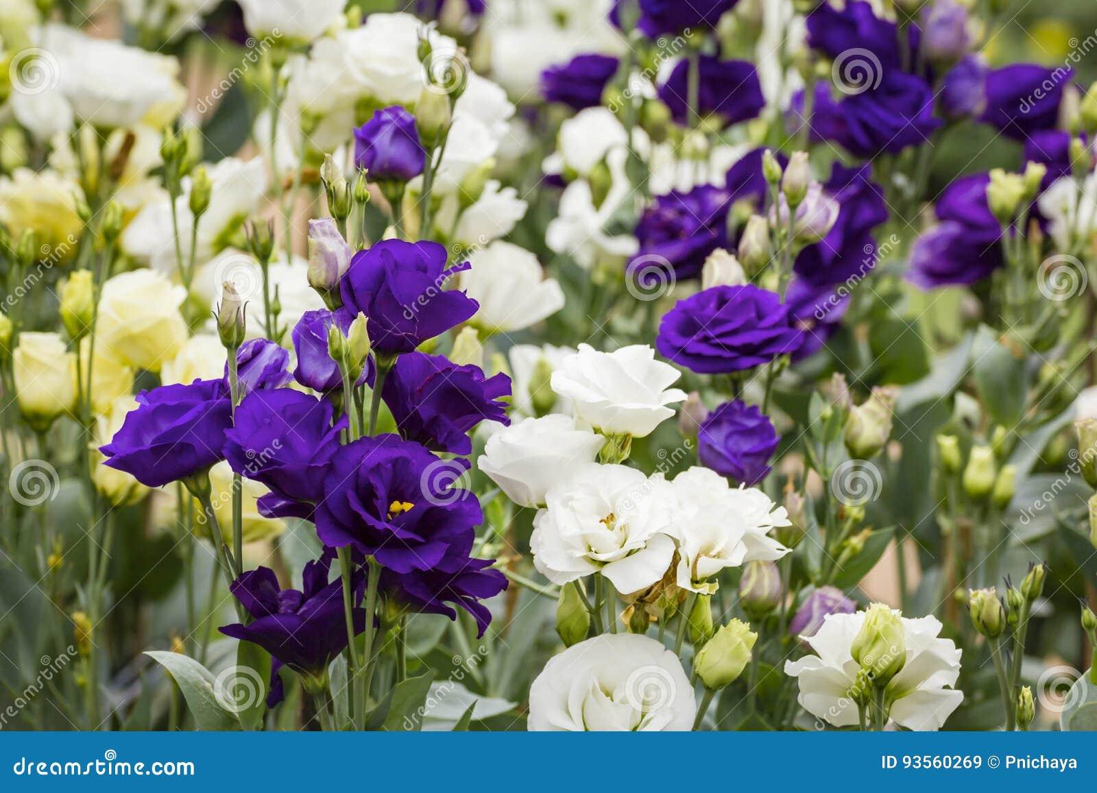 Blumenstrauß Von Purpurroten Lisianthus Blumen Stockbild Bild Von