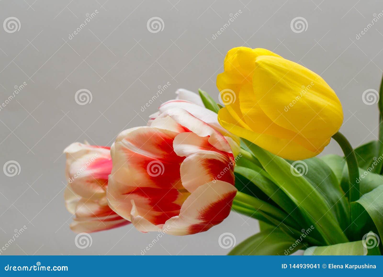 Blumenstrauß von schönen gelben und rot-weißen Tulpen