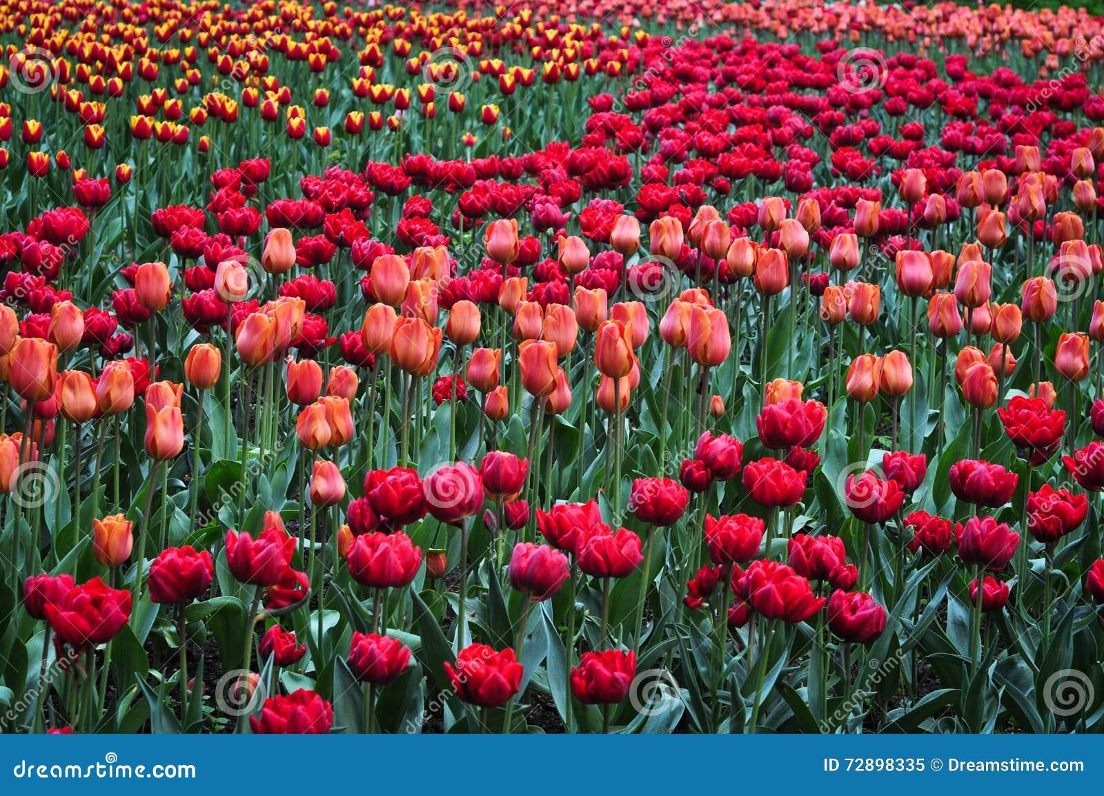 Blumenstrauß von Tulpen Bunte Tulpen Tulpen im Frühjahr, bunte Tulpe