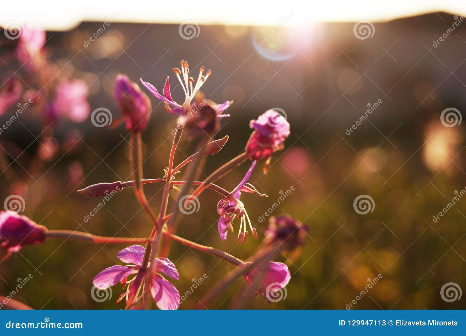 Blumenweidetee auf dem Hintergrund des Feldes