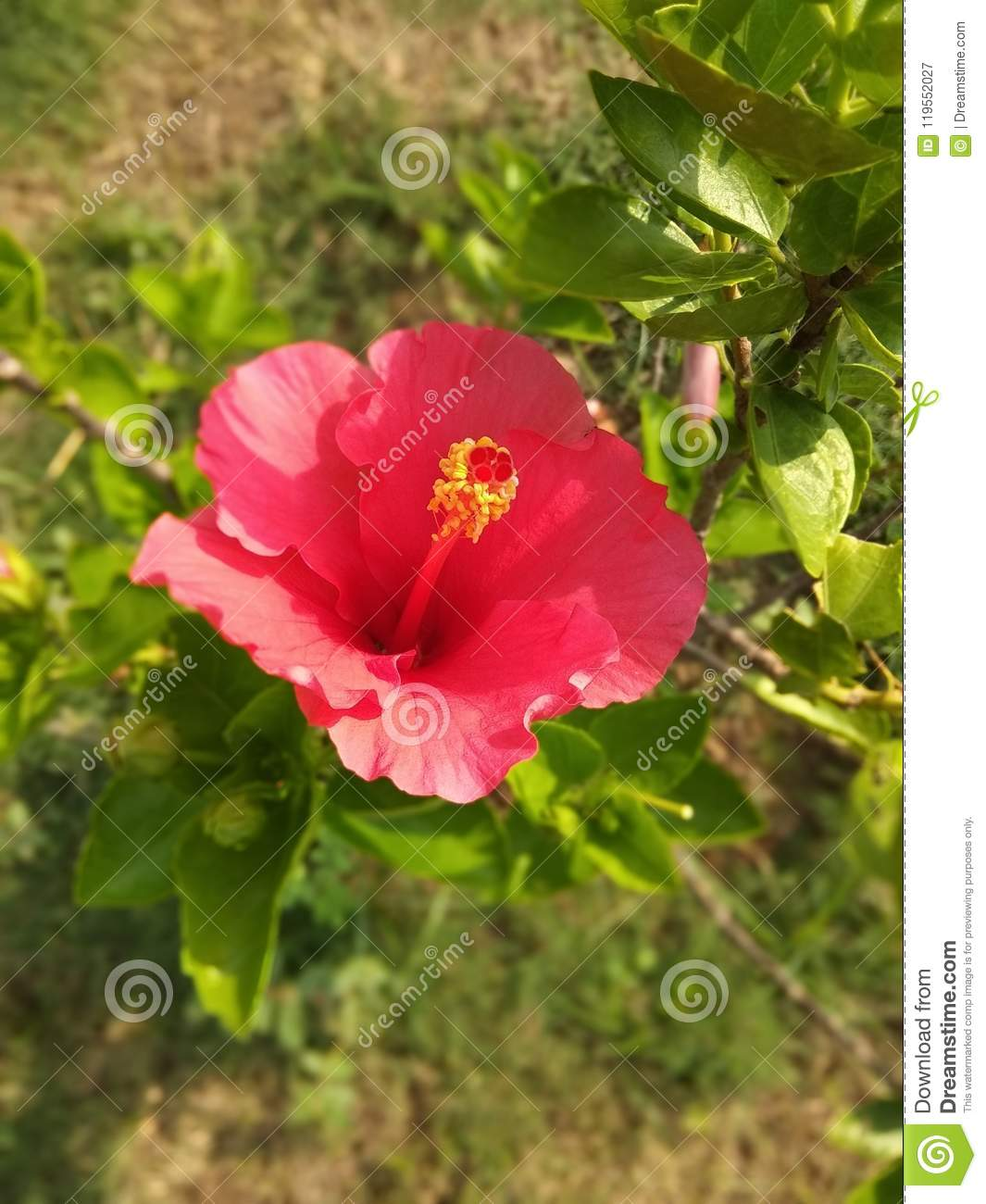 The Beautiful Red China Rose Flower And Leaves Stock Image Image