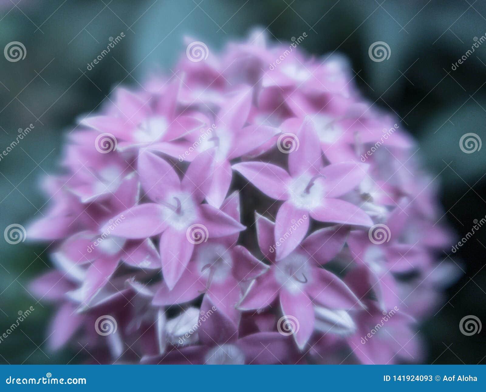 Blurred close up Lucky Star Deep Pink flower or Cornus sanguinea in the garden.