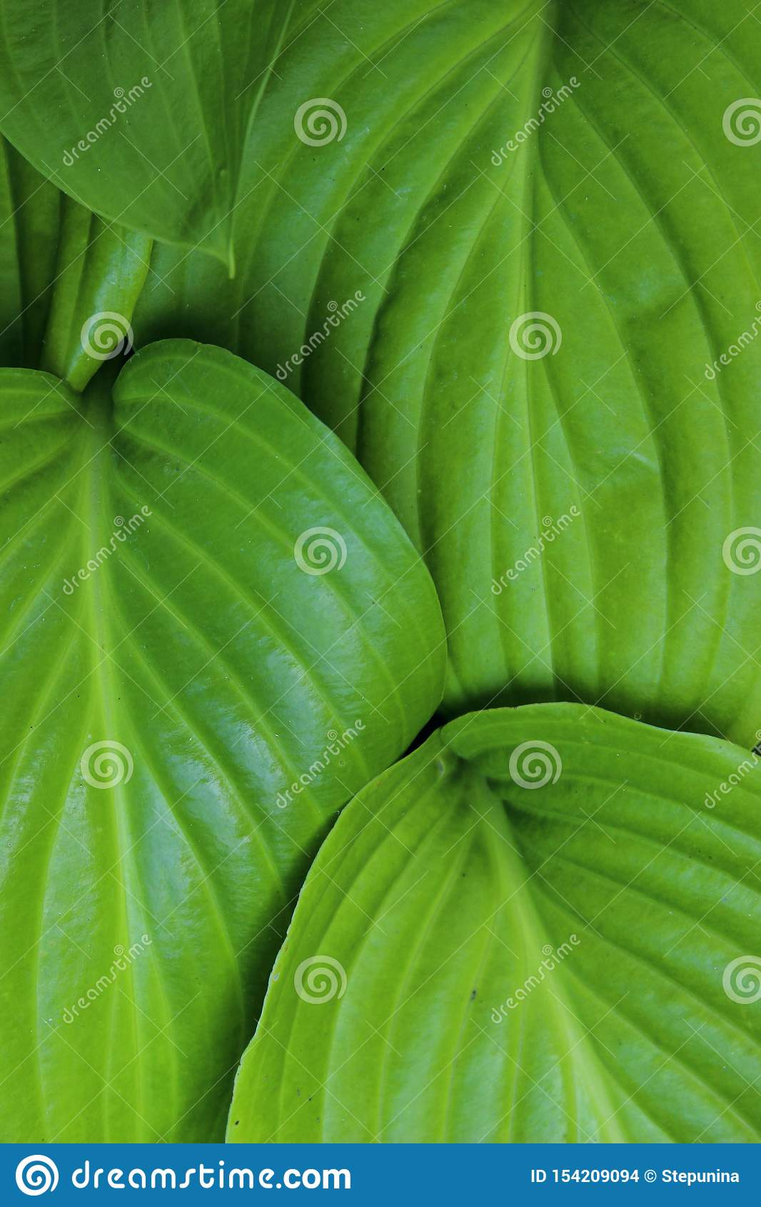 Green Leaves Background, Close Up. Beautiful Nature Background. Green Leaves, vertical shot.