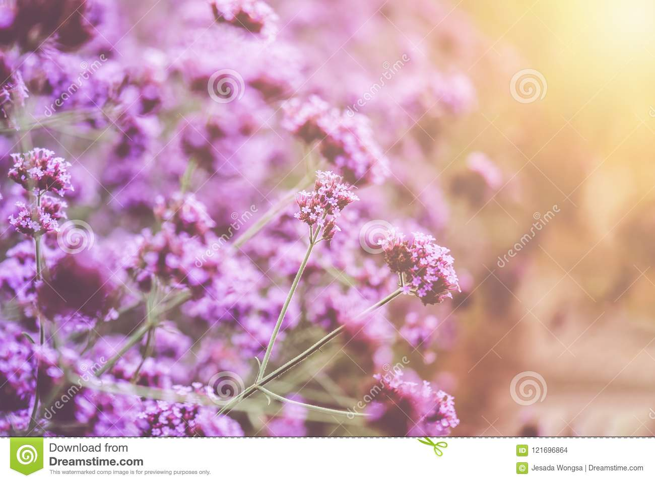 Blurred Of Verbena Bonariensis Is A Perennial Plant That Flowers In