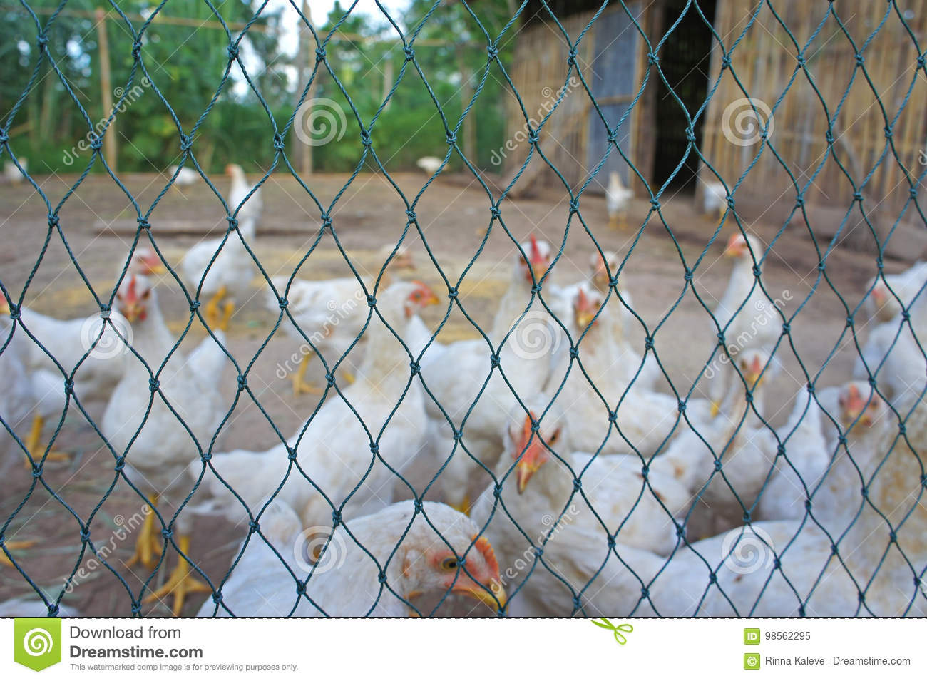Blurry Closeup White Chicken Behind Net In Cage Not Freedom Outdoor ...