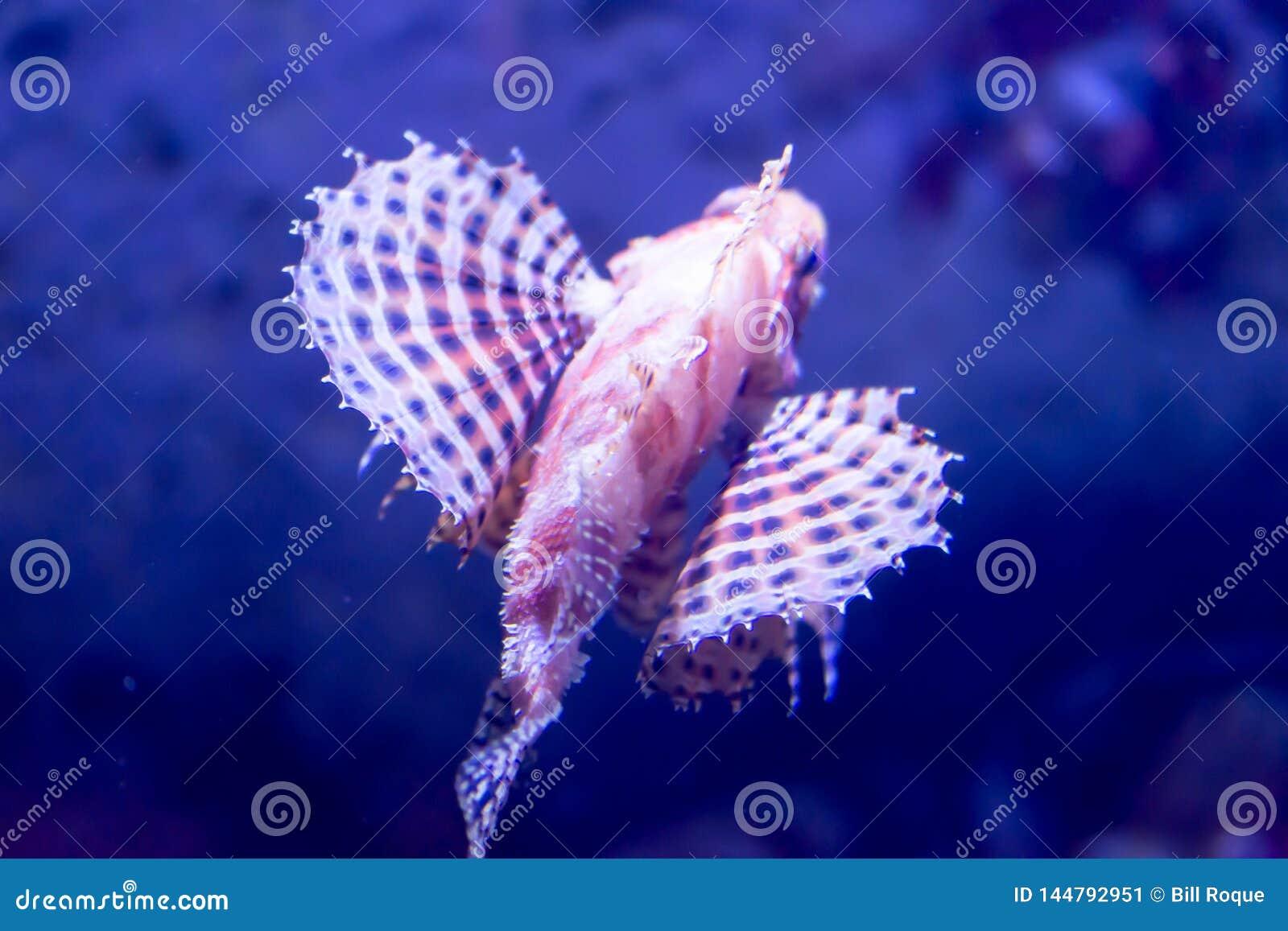 Blurry photo of a Dendrochirus zebra Zebra Lionfish zebra turkeyfish in a sea aquarium