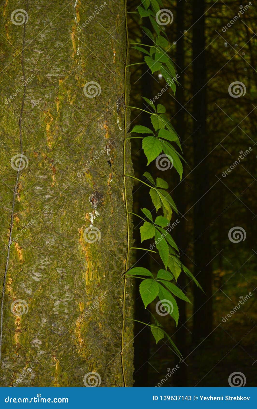 Bluszcz przerastający drzewny bagażnik