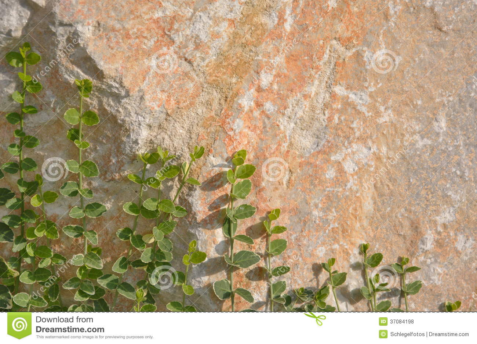Download Bluszcz roślina na ścianie zdjęcie stock. Obraz złożonej z greenbacks - 37084198
