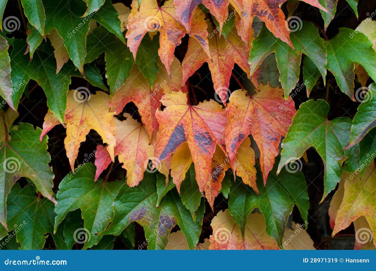 Bluszczy liście