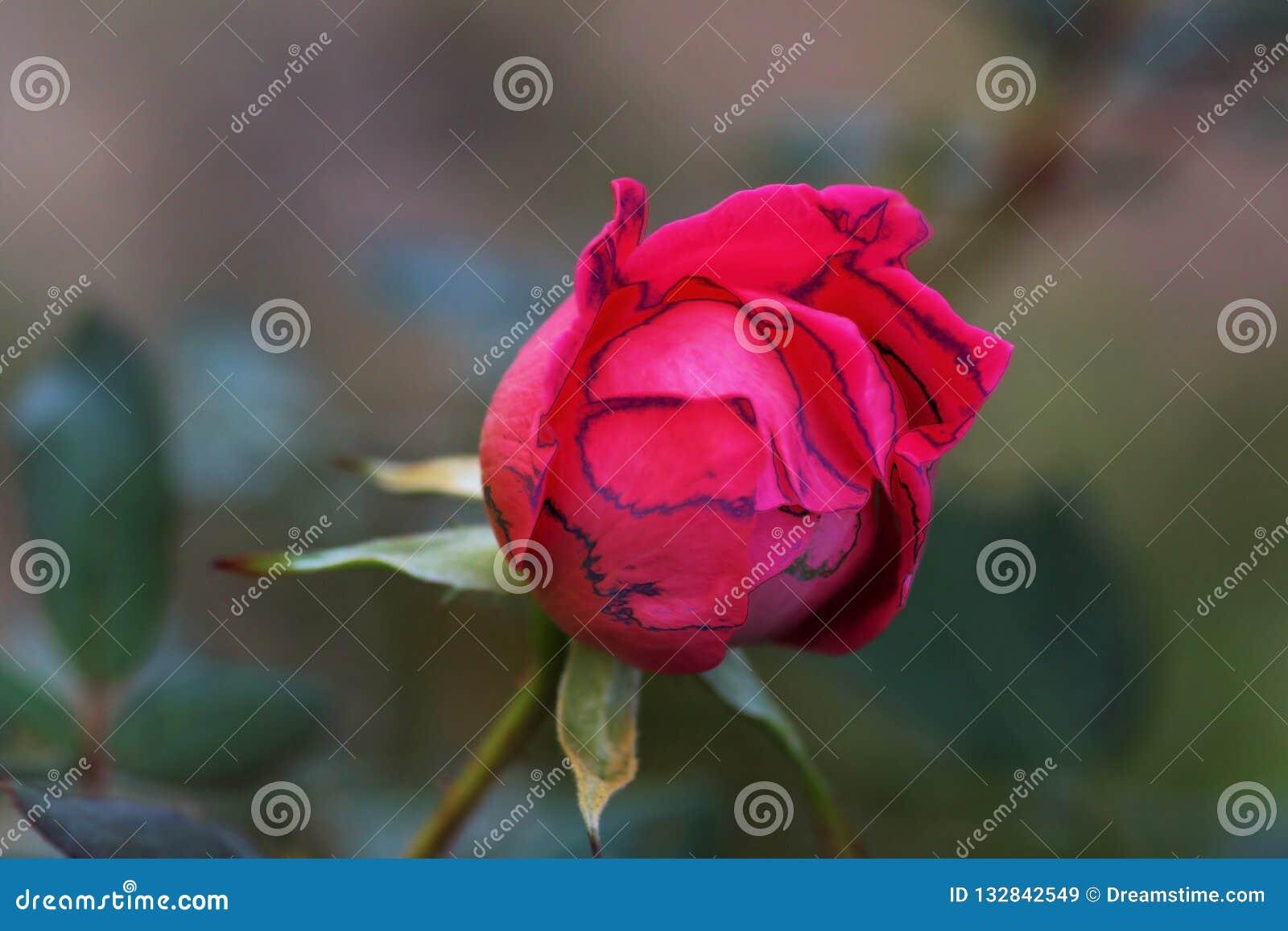 Blutendes Herz Rose