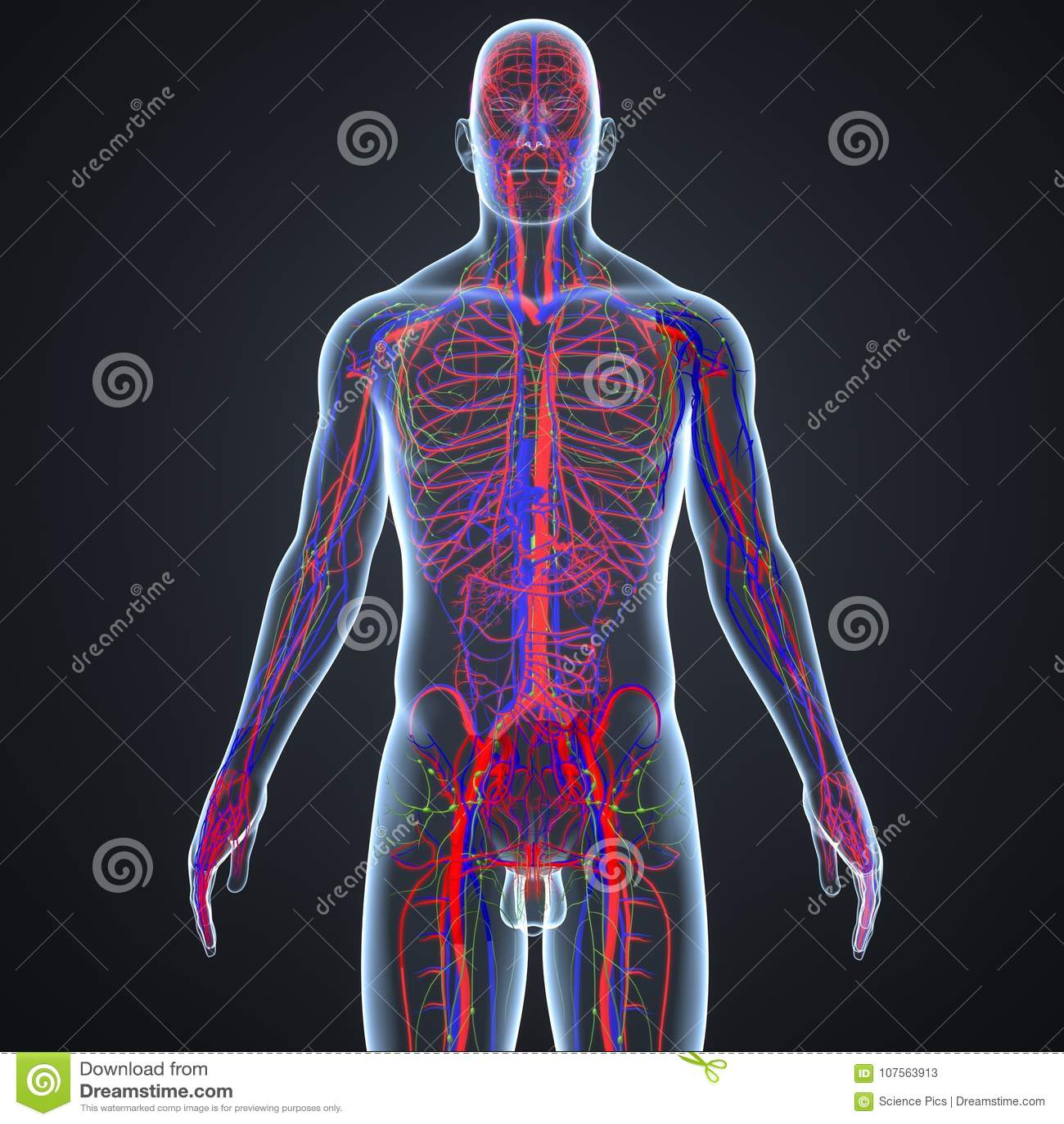 Atemberaubend Lymphknoten Karte Des Körpers Fotos - Physiologie Von ...