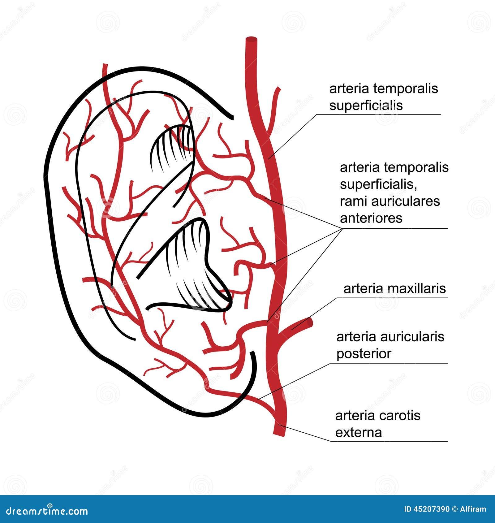 Outer Ear Anatomy Pinna. Know your Ear - MTM
