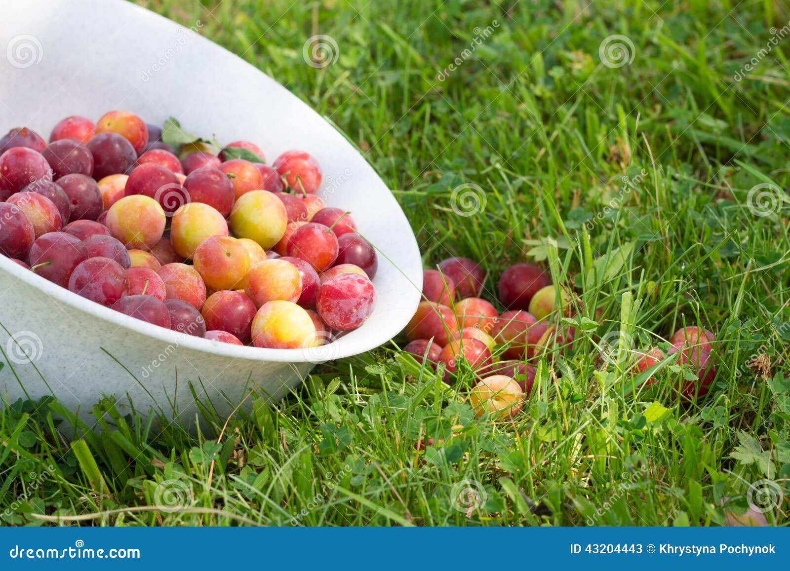 Download Blyloder i trädgård fotografering för bildbyråer. Bild av rått - 43204443