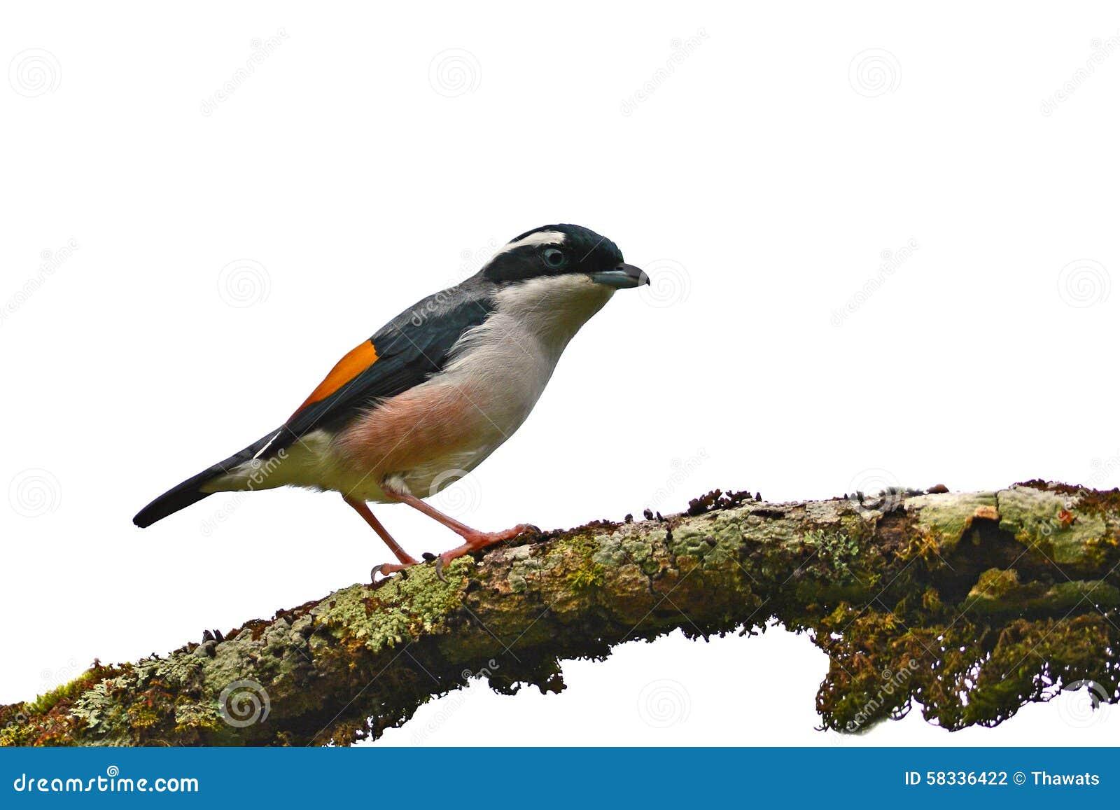 Blyth s Shrike-babbler