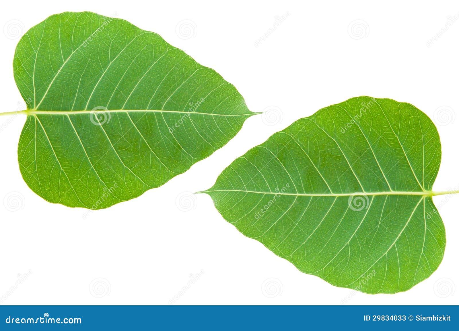 A BO verde folheia